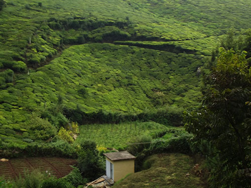 Subsidence failure in a tea estate.